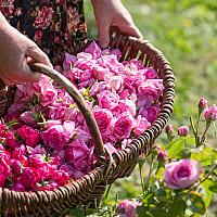 Zucker mit getrockneten Rosenblüten