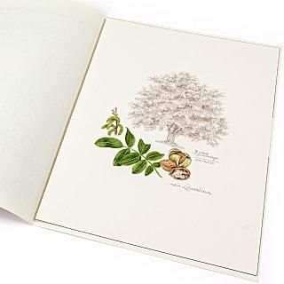 Lebensbaum Walnuss